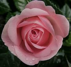 ca fiore veraiconica s
