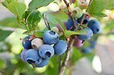 heidelbeeren blaubeeren herkunft anbau verwendung
