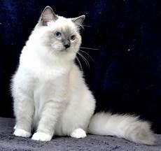 Aneka Pola Warna Kucing Ras Dan Lainya Info