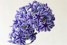 giacinto fiore bulbo di giacinto bulbi caratteristiche bulbo di