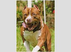 HAPK   American Pit Bull Terrier & Staffordshire Bull Terrier