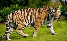 Harimau Animal Planet