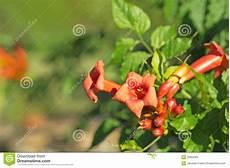 Fleur De Trompette Orange Photo Stock Image Du Floraison
