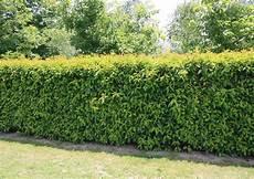 Top 10 Hedges Portuguese Laurel Prunus Lusitanica