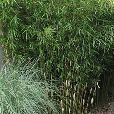 Fargesia Robusta Pingwu Vente Bambou Non Invasif
