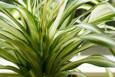 ungiftige zimmerpflanzen f 252 r katzen 15 gr 252 ne bl 252 hende
