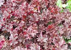 pflanze rote blüte heuchera hybriden purpurgl 246 ckchen rote gekr 228 useltes bl 228 tter