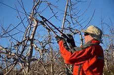 schneiden winter apfelbaum schneiden anleitung vom experten plantura