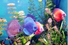 Ikan Hias Jenis Gambar Dan Budidaya Ikan Hias Air Tawar