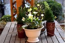 Christrose Im Zimmer - besondere weihnachtsgeschenke christrose und amaryllis