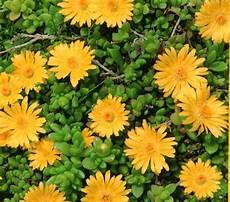 kübelpflanzen winterhart blühend delosperma lineare stauden mittagsblume gelb pflanzen