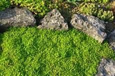 moos als bodendecker 187 so pflanzen und pflegen sie es