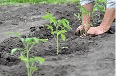 Tomaten Pflanzen 187 Wann Ist Der Beste Zeitpunkt