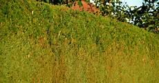 wie hoch darf eine hecke sein streit an der grundst 252 cksgrenze heckenh 246 he baumpflegeportal