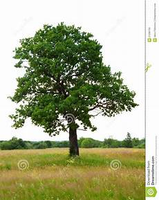 oak tree white background royalty free stock photo