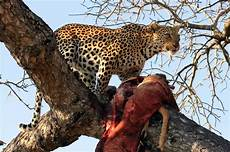 jaguar where do they live what are the differences between leopard panther and a