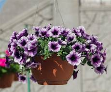 fiori per terrazzi al sole fiori da vaso estivi con fiori estivi da vaso fiori estivi