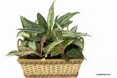 Zimmerpflanzen Für Gute Luft - die besten 30 pflanzen f 252 rs b 252 ro gutes raumklima dank