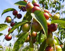 300 camu camu seeds fresh ebay