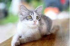 lutter contre les boules de poils chez le chat guide astuces