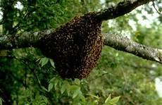File Sarang Lebah Madu Jpg Wikimedia Commons