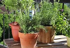 kräuter anpflanzen wohnung lavendel pflanzen balkon lavendel auf dem balkon