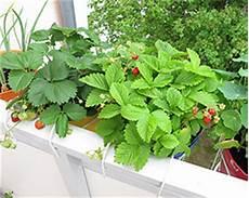 erdbeeren auf dem balkon standort pflege pflanzen