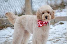 goldendoodle haircuts goldendoodle grooming timberidge goldendoodle haircut pictures goldendoodle grooming goldendoodle haircuts goldendoodle