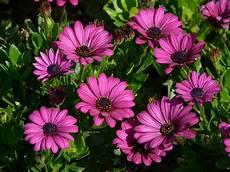 significato dei fiori gerbera gerbere coltivazione cura e significato nel linguaggio