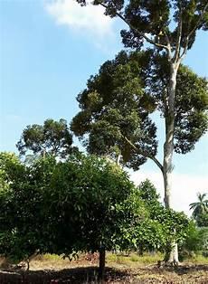 Warisan Petani Tanaman Durian