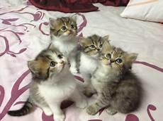 Jadilah Diri Sendiri Anak Kucing Parsi Untuk Di Jual