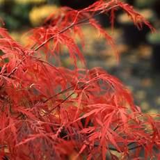 erable du japon dissectum garnet plantes et jardins