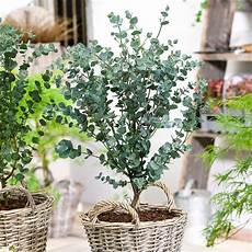 eis eukalyptus azura kaufen bei g 228 rtner p 246 tschke