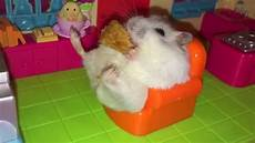 hamster vidéos x hamster on a sofa of hamsters