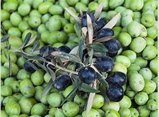 11 Types of Olive Trees to Know and Grow