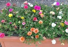 portulaca grandiflora jardini 232 re douneika flickr