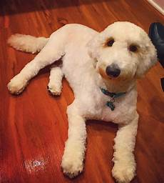 semi short haircut on a goldendoodle goldendoodles 20 best goldendoodle haircut pictures page 5 the paws