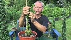 buchsbaum buxus boxwood schneiden cutting lars melodie