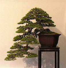 best 90 plants bonsai trees images on bonsai