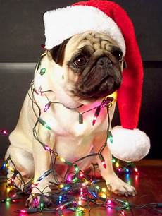 merry christmas pug pictures 30 christmas pugs who really don t like you and the entire world best art