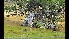 what is a jaguar called jaguar called quot sossego quot