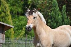 Ausmalbilder Pferde Norweger Norweger Pferd Fotos Bilder Auf Fotocommunity
