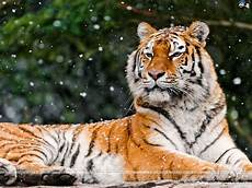 tiger pictures search