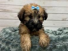 soft coated wheaten terrier haircut dog wheaten soft coated wheaten terrier puppies petland bolingbrook il