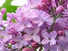 fiori lilla nomi piante fiori erbe tossiche per i gatti