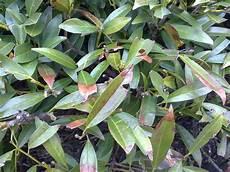 kirschlorbeer braune blätter was ist mit dem kirschlorbeer nicht ok pflanzen garten