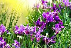 iris fiore coltivazione fiori iris fiori delle piante