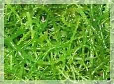 Rumput Laut Madura Jual Rumput Laut Usaha Rumput Laut
