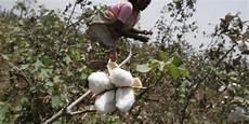 resistenz gegen gift sch 228 dlinge auch bei baumwolle