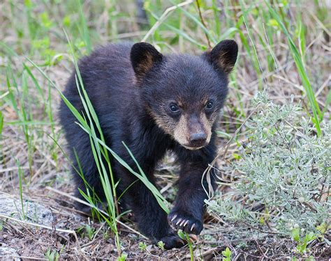 Authorities Euthanize Motherless Black Bear Cub After It